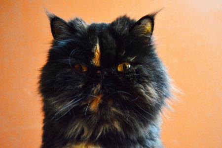Parti-color orange and black Persian cat