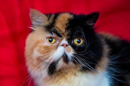 Calico Persian cat
