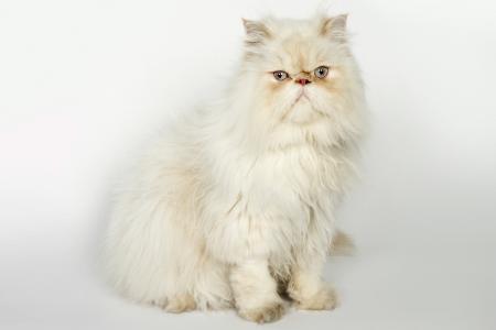 Sitting white Persian cat