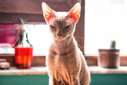Sphynx cat which in front of window