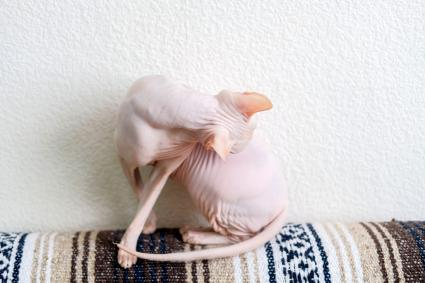 Hairless cat Don Sphynx breed with pink naked skin washes itself