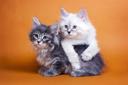Two Siberian fluffy kitten on orange background