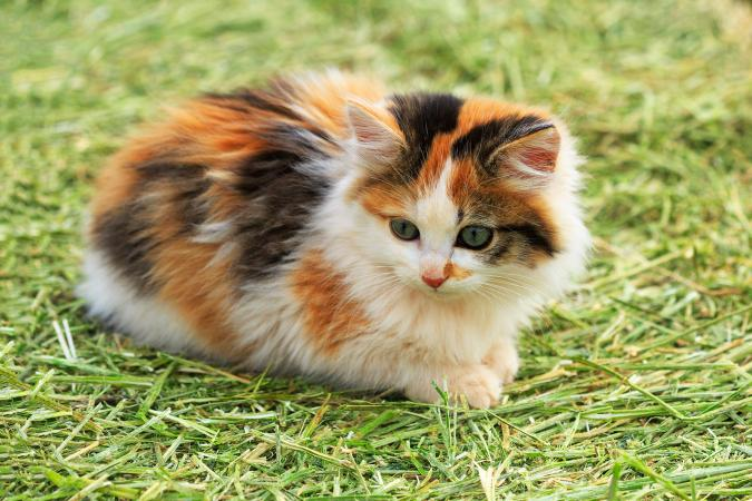 Calico kitten on grass outside