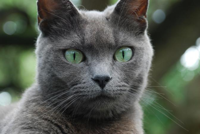 Russina Blue cat closeup