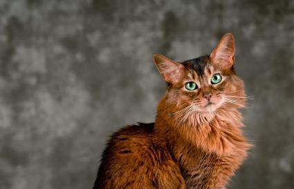 Somali cat portrait