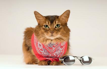 Somali cat in red bandanna with sunglasses