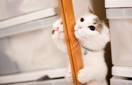 Munchkin cat near mirror