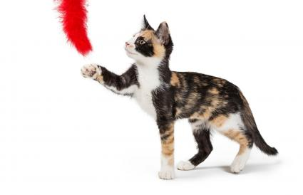 Calico Kitten Playing With Feather Toy