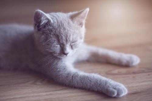 Sleeping grey kitten