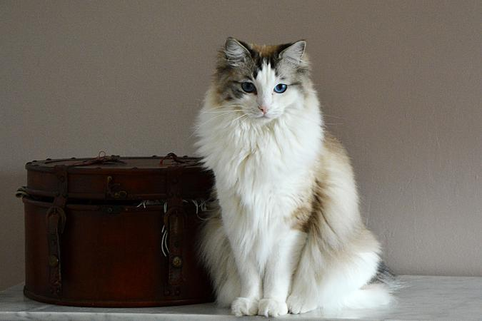 Inspiring Ragdoll Cat Rescue Associations | LoveToKnow