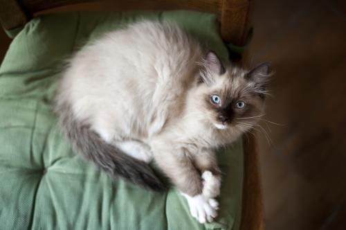 Ragdoll kitteh