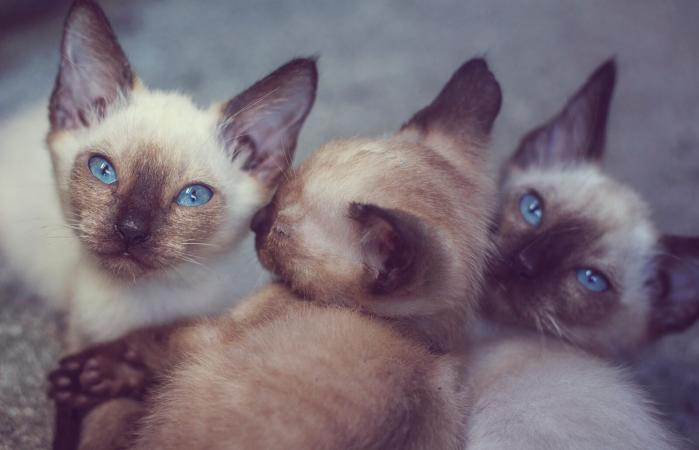Three siamese kitten