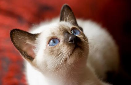 Siamese kitten looking up