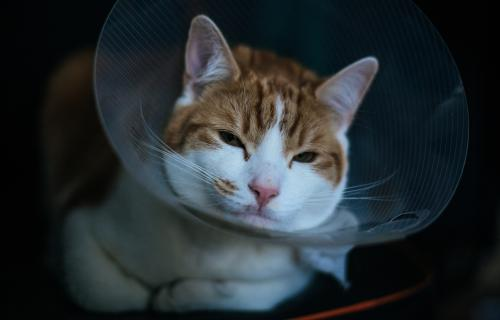 Cat in an Elizabethan Collar