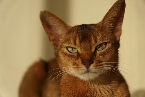 Closeup of Abyssinian cat