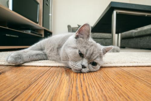 Sad gray cat