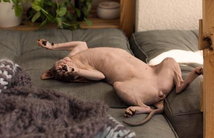 Sphynx Hairless Cat Lying On Bed