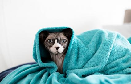 Cute sphynx cat wrapped in blanket