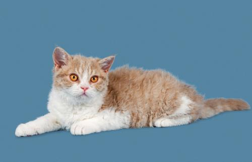 Breed Selkirk Rex Kitten