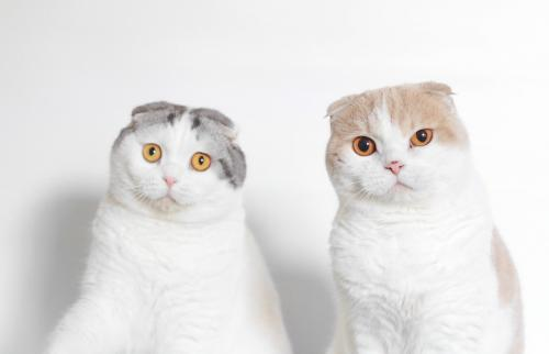 Scottish folds looking puzzled
