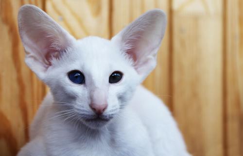White oriental cat
