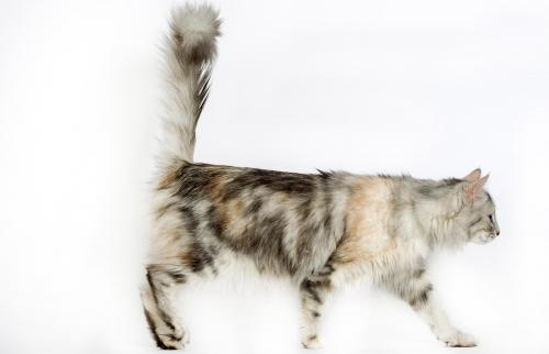 Turkish angora cat