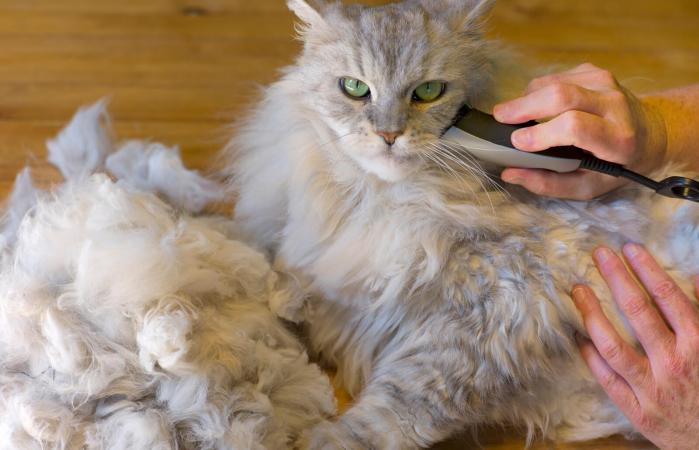 Shaving a Matted Maine Coon Cat