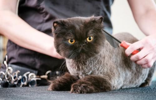 Professional Cat Groomer in a Pet Salon