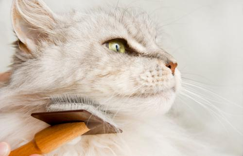 Maine Coon Cat Grooming