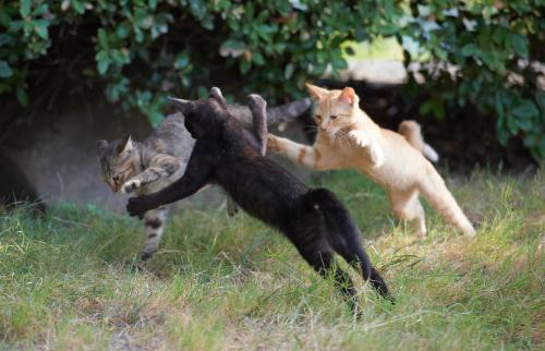 Three kitten fighting