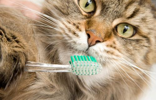 Maine Coon Cat Dental Hygiene