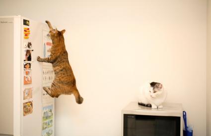 cat climbing refrigerator
