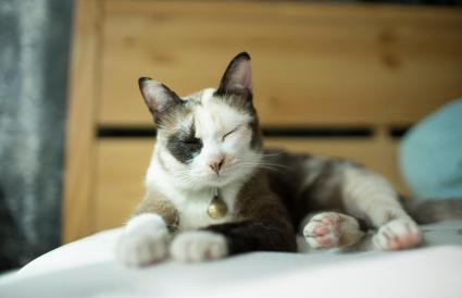 Siamese cat kitten on the bed
