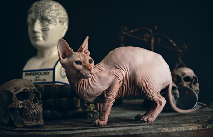 Hairless cat on an old Alchemists work table
