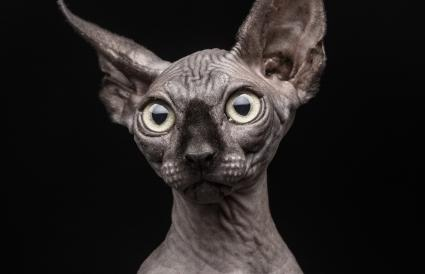 Grey sphynx kitten