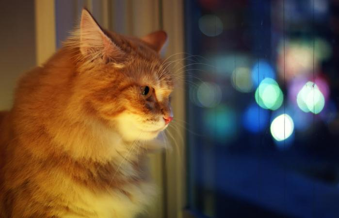 Cat Staring Out Window