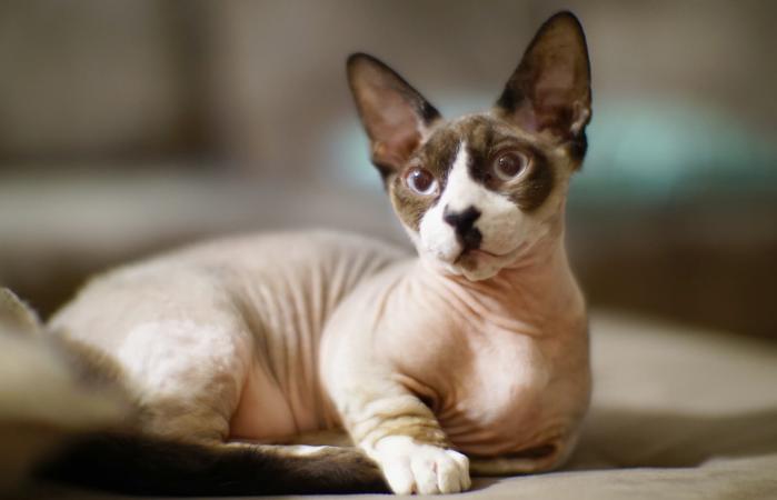 Bambino sphynx cat