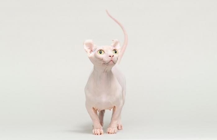 White Dwelf Cat