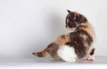 Kitten of breed Selkirk Rex tricolor color