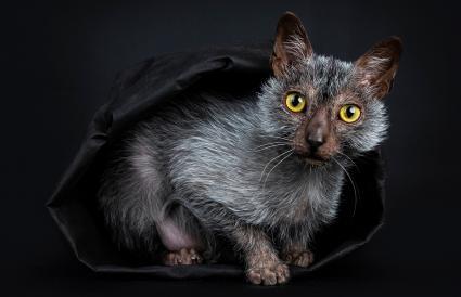 Lykoi werewolf cat