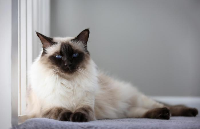 Chocolate Balinese Cat