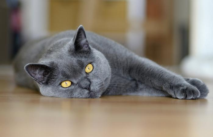 Chartreux Cat Lying On Floor