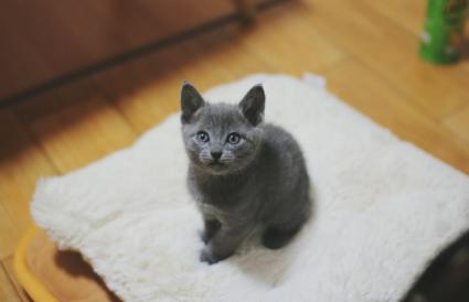 Chartreux Kitten On Fabric