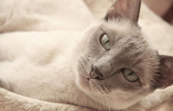 Lilac Point Tonkinese