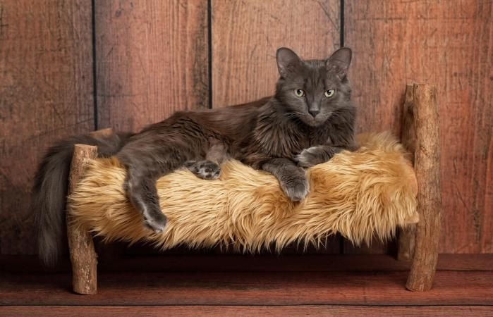 Nebelung Cat on Wooden Bed