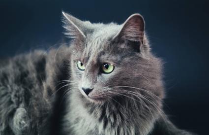 beautiful Nebelung cat