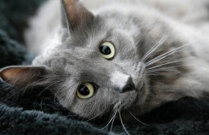 Gray Nebelung cat portrait