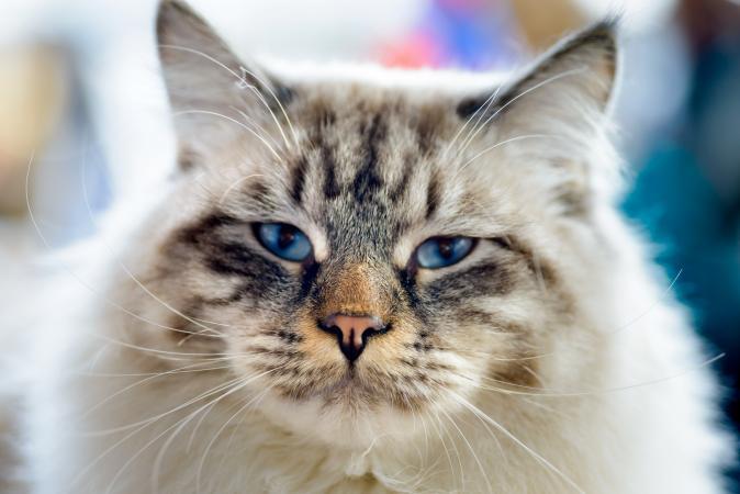 Blue-eyed Ragamuffin cat
