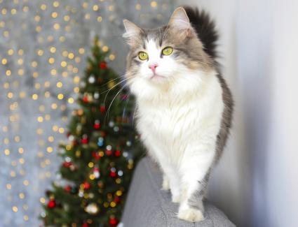 grey and white ragamuffin cat