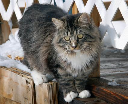 Long Haired Ragamuffin cat balancing on a walkway in the snow